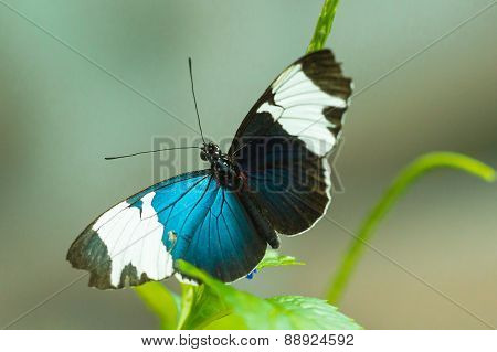 Sara Longwing butterfly