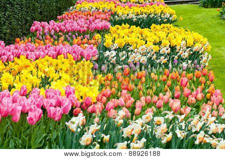 Flower beds of multicolored tulips and narcissus