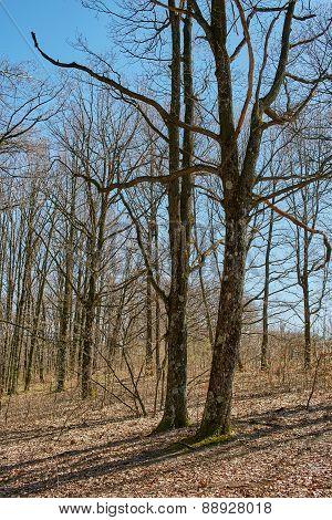 Landscape With Oak Forest On Springtime