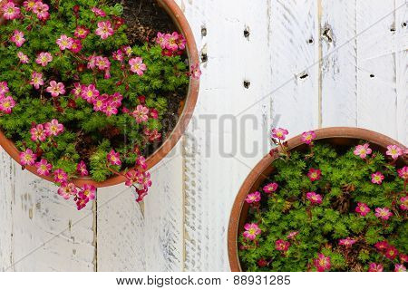 Sedum Saxifrage Pink Flowers Blossom White Background