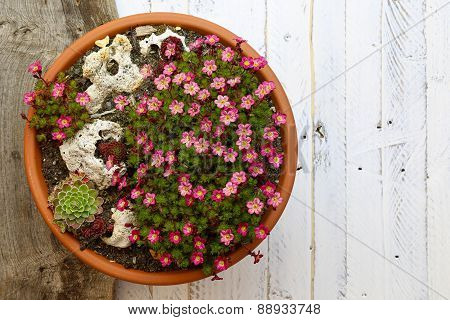 Alpine Garden Sedum Saxifrage Pink Flowers Blossom White Background
