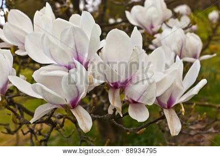 Pink magnolia cluser of flowers.