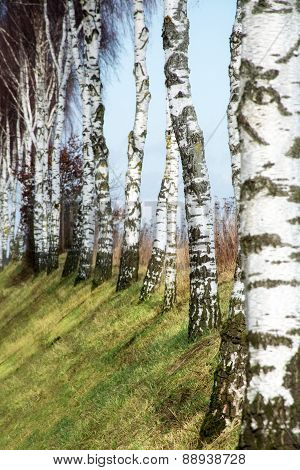Row Of Birch Trunks On A Slope