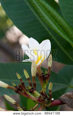 White And Yellow Plumeria Spp. (frangipani Flowers, Frangipani, Pagoda Tree Or Temple Tree)