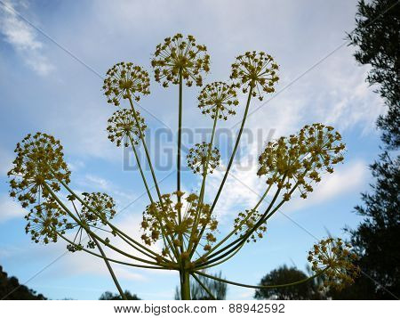 Blooming Dill Plant