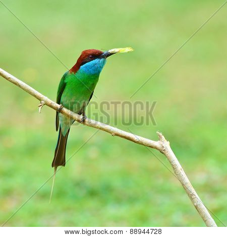 Blue-throated Bee-eater Bird