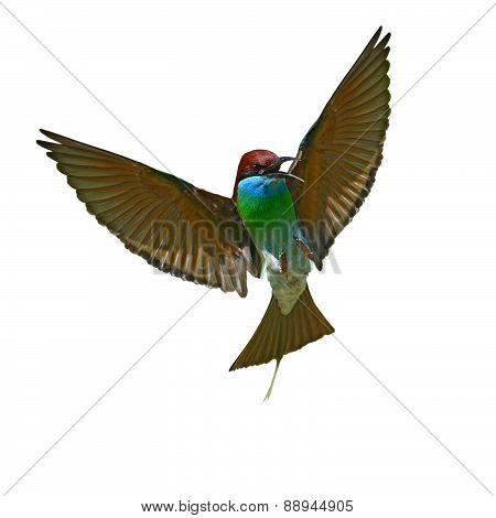 Blue-throated Bee-eater Bird