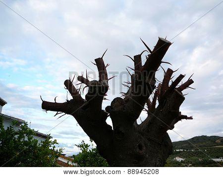 Pruned Rubber Tree