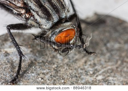 Fly portrait macro