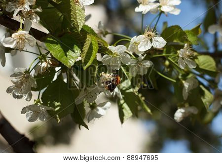 Bee Collects Nectar Outdoor