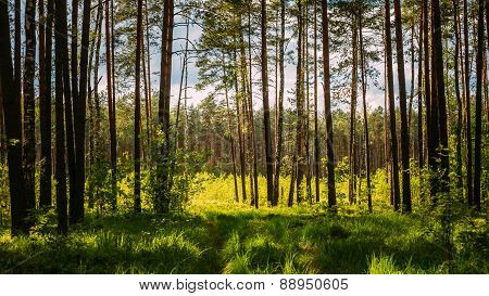 Sunlight In Green Coniferous Forest, Summer