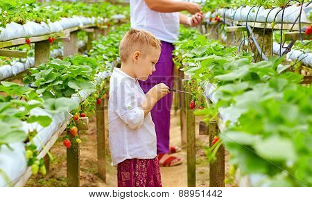Farmer Family Harvesting Strawberries In Greenhouse