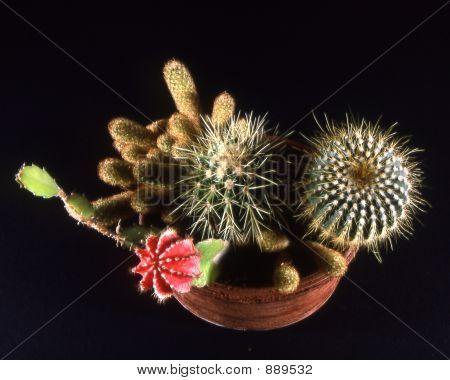 Potted Cacti On Black Background