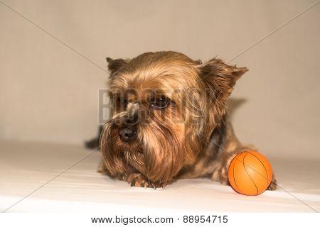 Dog York