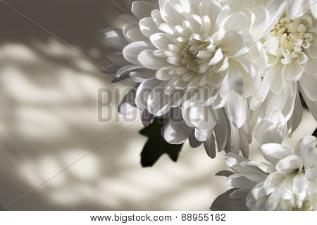Bunch Of Sun Lit White Asters Forming Shadow