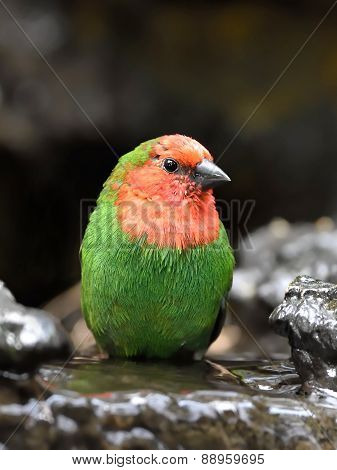 Red-throated Parrotfinch (erythrura Psittacea)
