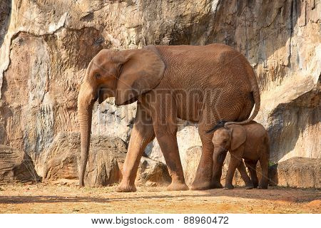 Suckling Baby African Elephant With Mum.