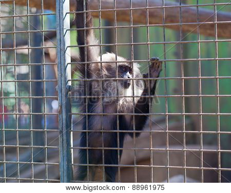 Maned Monkey In A Cage