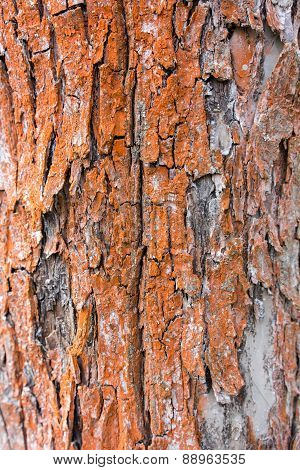 Bark Texture Background Pattern Crack Old Red Apple Tree For Design