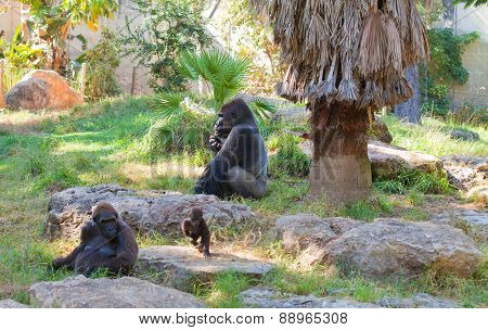 Gorilla Alpha Male With Family