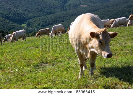 Charolais And Jersey Cattle On The Alp Pasture, Slovakia