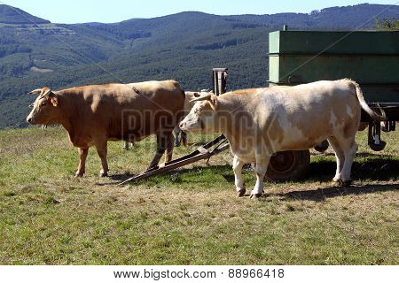 Two Cattle Heifers Waiting Near The Cart On The Pasture, Slovakia