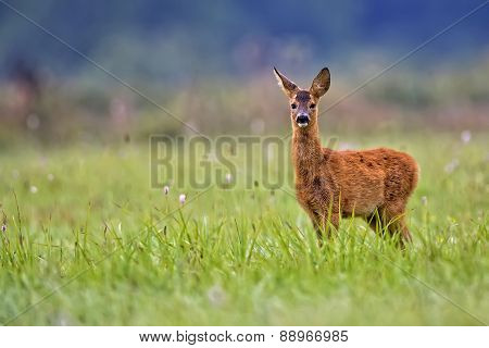 Baby roe deer in a clearing