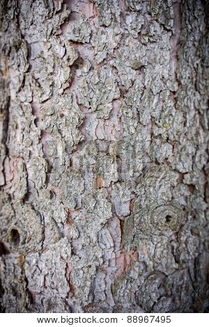 Close-up Of An Pine Tree's Bark