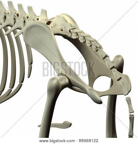 Dog Pelvis Hip Anatomy - Anatomy Of A Canine Pelvis Hip