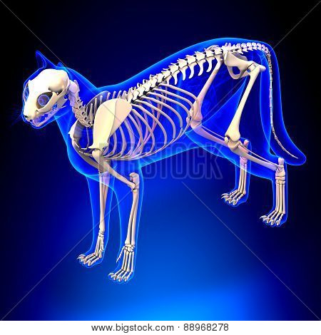 Cat Skeleton Anatomy - Anatomy Of A Cat Skeleton - Perspective View