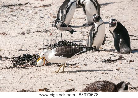 Gull Stealing Penguin Egg