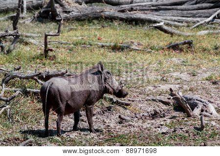 African Wildlife Warthog