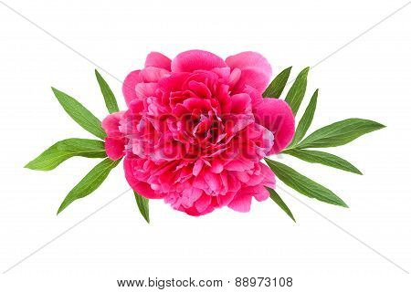 Pink Peony With Leaves
