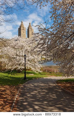 Springtime In Central Park With Yoshino Cherry Trees, New York