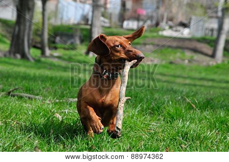 Dog breed standard smooth-dachshund, color, bright red, dog runs with a stick. Dog playing. Dog for