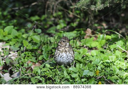 The song thrush (Turdus philomelos) is a thrush that breeds across much of Eurasia.