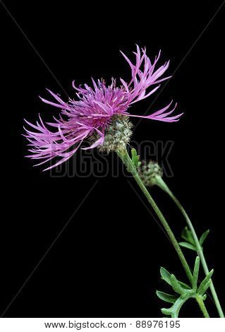 Brown knapweed (Centaurea jacea)