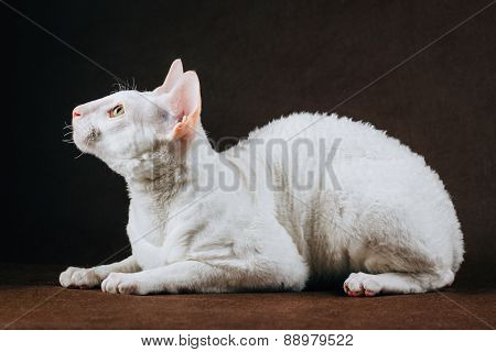 Portrait Of  Cornish Rex Cat On Brown Background