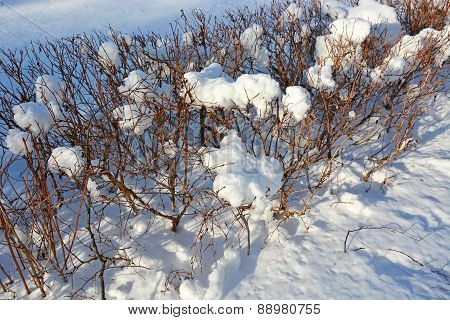 Bush With Snow Caps- Looks Like Cotton