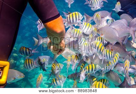 Man feeds the tropical fish under water.Ocean coral reef. Warning - authentic shooting underwater in challenging conditions. A little bit grain and maybe blurred.