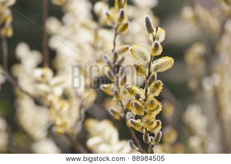 Spring Twigs With Buds And Blurry Background