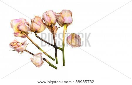 Beautiful Image of five Pink and gold Faded roses On White