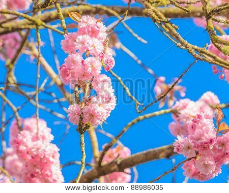 Perfect blossom, sakura flowers.