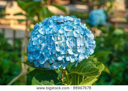 Purfect blue blossoms of hydrangea flower.
