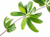 image of creeper  - Close up leaves of creeper plant isolated on white background - JPG