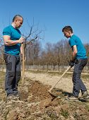 image of orchard  - Father and son digging a hole in an orchard to plant a plum tree - JPG