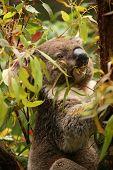 foto of koalas  - Koala in a gum tree eating fresh green leaves - JPG