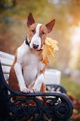 stock photo of bulls  - Red English bull terrier on a bench with autumn leaves - JPG
