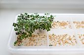 stock photo of germination  - Germinated sprouts and seeds with dew in a tray - JPG