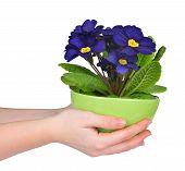 image of primrose  - Hand holding Primrose in pot isolated on white background - JPG